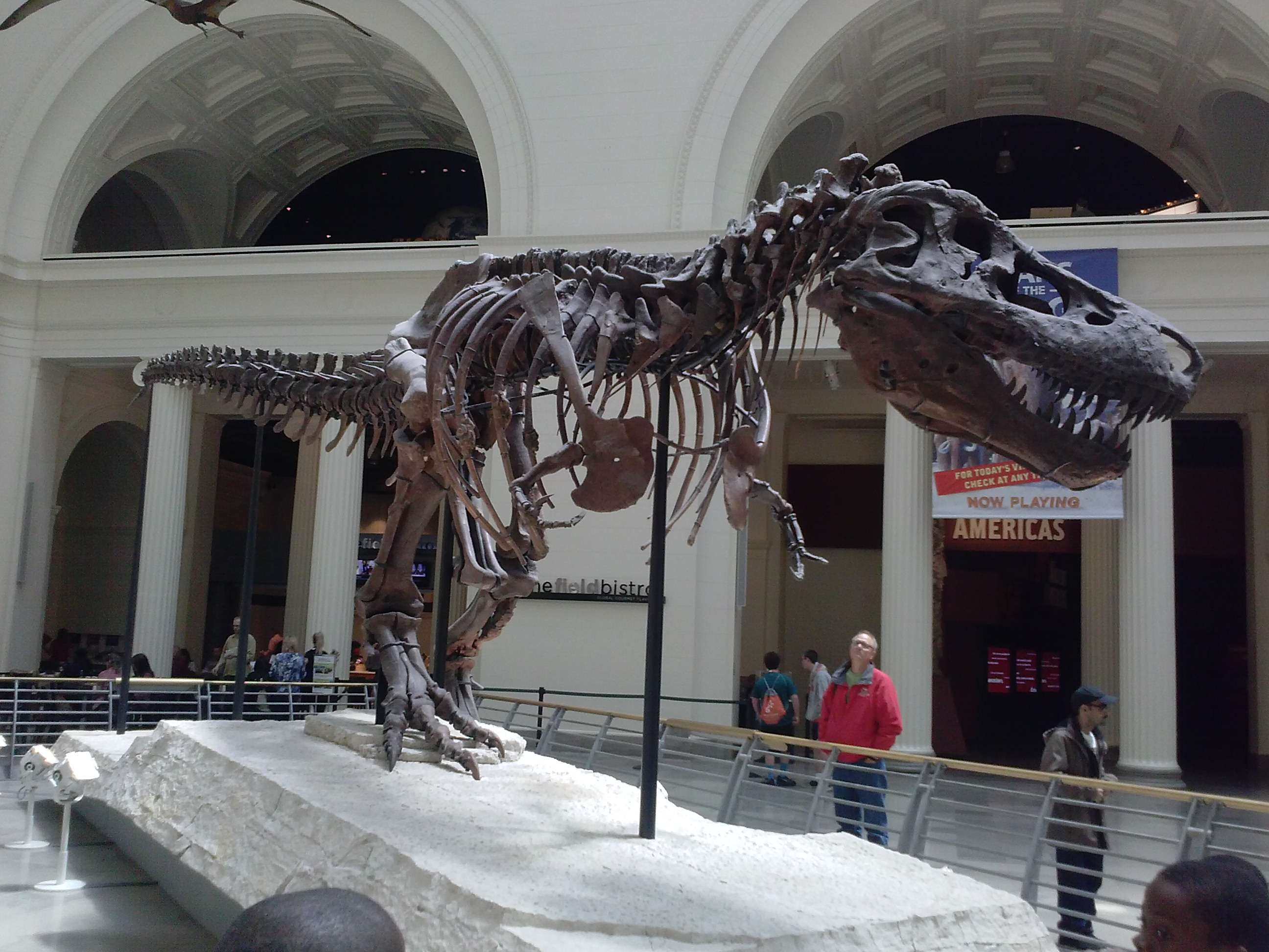 Sue the largest most complete T-rex discovered so far