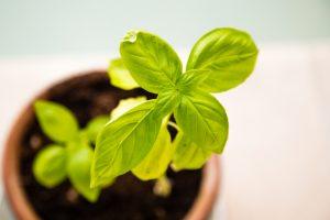 Fresh green basil plan in a pot
