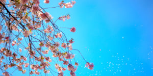 Spring buds bloom on a branch