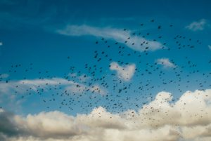 a flock of birds fly against a blue sky and clouds